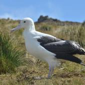 Southern royal albatross. Juvenile standing. Campbell Island, October 2012. Image © Kyle Morrison by Kyle Morrison