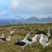 Southern royal albatross. 'Gam' displaying. Campbell Island, January 2013. Image © Kyle Morrison by Kyle Morrison