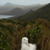 Southern royal albatross. Adult incubating on nest. Campbell Island, January 2012. Image © Kyle Morrison by Kyle Morrison