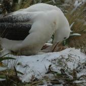 Southern royal albatross. Adult turning egg in nest with snow around. Campbell Island, December 2010. Image © Kyle Morrison by Kyle Morrison