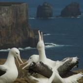 Southern royal albatross. Sub-adults 'gam' displaying. Campbell Island, December 2011. Image © Kyle Morrison by Kyle Morrison