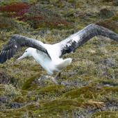 Southern royal albatross. Adult with wings spread showing upper surface. Campbell Island, January 2010. Image © Joke Baars by Joke Baars