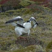 Southern royal albatross. Adult folding double jointed wings. Campbell Island, January 2010. Image © Joke Baars by Joke Baars