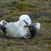 Southern royal albatross. Adult preening. Campbell Island, January 2010. Image © Joke Baars by Joke Baars
