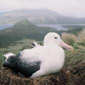 Southern royal albatross. Adult incubating egg in nest. North Col, Campbell Island, January 1993. Image © Alan Tennyson by Alan Tennyson