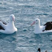 Southern royal albatross. Adult (on left) with northern royal albatross and Cape petrels. Off Kaikoura, June 2015. Image © Alan Tennyson by Alan Tennyson