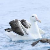 Southern royal albatross. Adult at sea. Cook Strait, April 2016. Image © Phil Battley by Phil Battley