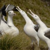 Southern royal albatross. Adults displaying. Campbell Island, February 2008. Image © Craig McKenzie by Craig McKenzie