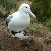 Southern royal albatross. Adult and chick. Campbell Island, January 2005. Image © Matt Charteris by Matt Charteris