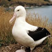 Northern royal albatross. Adult and chick . Twin Rock, Taiaroa Head, February 1969. Image © Department of Conservation ( image ref: 10028289 ) by Alan Wright Courtesy of Department of Conservation