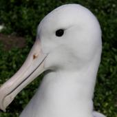 Northern royal albatross. Close view of adult head. Forty Fours,  Chatham Islands, December 2009. Image © Mark Fraser by Mark Fraser