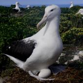 Northern royal albatross. Adult on nest with egg. Forty Fours,  Chatham Islands, December 2009. Image © Mark Fraser by Mark Fraser