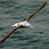 Northern royal albatross. Front dorsal view of adult in flight. Taiaroa Head, March 2007. Image © Craig McKenzie by Craig McKenzie