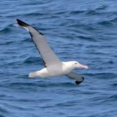 Northern royal albatross. Adult in flight. Cook Strait, January 2014. Image © Alexander Viduetsky by Alexander Viduetsky Taken from Kaitaki ferry while crossing Cook Strait on 12 January