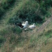 Northern royal albatross. Adult with chick c.30 days old. Taiaroa Head, February 1983. Image © Alan Tennyson by Alan Tennyson