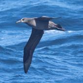 Black-footed albatross. Adult. West of Channel Islands, California, April 2011. Image © Alexander Viduetsky by Alexander Viduetsky