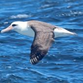 Laysan albatross. Adult. West of Channel Islands, California, April 2011. Image © Alexander Viduetsky by Alexander Viduetsky