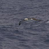 Atlantic yellow-nosed mollymawk. Adult in flight. Near Tristan da Cunha, February 2009. Image © Colin Miskelly by Colin Miskelly