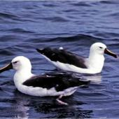 Indian Ocean yellow-nosed mollymawk. Adults on water. Off Tutukaka, May 1983. Image © Colin Miskelly by Colin Miskelly