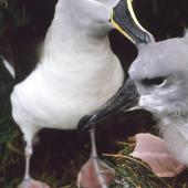 Grey-headed mollymawk. Adult preening its fully-feathered chick. Bull Rock colony, Campbell Island, April 1984. Image © Graeme Taylor by Graeme Taylor