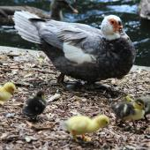 Muscovy duck. Female with seven ducklings. Eastbourne, March 2013. Image © Robert Hanbury-Sparrow by Robert Hanbury-Sparrow
