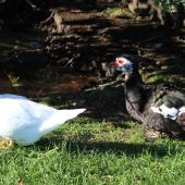Muscovy duck. Two females. Taradale, April 2013. Image © Robert Hanbury-Sparrow by Robert Hanbury-Sparrow
