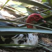 Muscovy duck. Semi-captive adult male with near-bald head and neck. near Waikanae, January 2016. Image © Robert Hanbury-Sparrow by Robert Hanbury-Sparrow