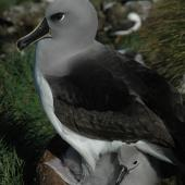 Grey-headed mollymawk. Adult and chick on nest. Campbell Island, January 2011. Image © Kyle Morrison by Kyle Morrison