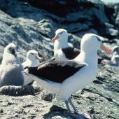 Black-browed mollymawk. Adults and chick. Toru Islet, Western Chain, Snares Islands, December 1984. Image © Colin Miskelly by Colin Miskelly