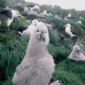 Campbell black-browed mollymawk. Downy chick. South Bull Rock, Campbell Island, January 1993. Image © Alan Tennyson by Alan Tennyson