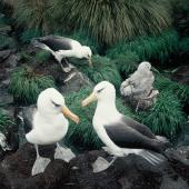 Campbell black-browed mollymawk. Adults at empty nest. South Bull Rock, Campbell Island, January 1993. Image © Alan Tennyson by Alan Tennyson