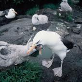 Campbell black-browed mollymawk. Adult feeding chick. South Bull Rock, Campbell Island, January 1993. Image © Alan Tennyson by Alan Tennyson