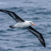 Campbell black-browed mollymawk. Adult. Southern Ocean, January 2018. Image © Mark Lethlean by Mark Lethlean