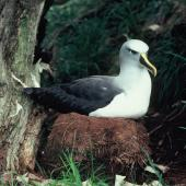 Buller's mollymawk. Adult southern subspecies incubating egg in nest. Snares Islands, February 1984. Image © Colin Miskelly by Colin Miskelly