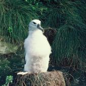 Buller's mollymawk. Southern Buller's mollymawk chick on nest . Little Solander Island. Image © Department of Conservation ( image ref: 10058099 ) by Wynston Cooper Courtesy of Department of Conservation