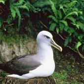Buller's mollymawk. Southern subspecies adult on nest . Solander Island, February 1984. Image © Department of Conservation ( image ref: 10058100 ) by Department of Conservation  Courtesy of Department of Conservation