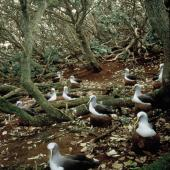 Buller's mollymawk. Southern subspecies adults nesting under forest. The Snares, March 1992. Image © Alan Tennyson by Alan Tennyson