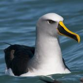 Buller's mollymawk. Front view of adult on water. Kaikoura pelagic, August 2011. Image © Philip Griffin by Philip Griffin