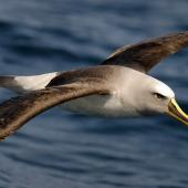 Buller's mollymawk. Dorsal view of adult in flight showing head. Otago coast, October 2008. Image © Craig McKenzie by Craig McKenzie Craig McKenzie
