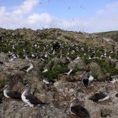 Buller's mollymawk. Northern subspecies breeding colony. Forty Fours,  Chatham Islands, December 2009. Image © Mark Fraser by Mark Fraser