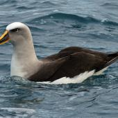 Buller's mollymawk. Adult northern subspecies on water. Kaikoura pelagic, May 2009. Image © Duncan Watson by Duncan Watson