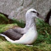 Buller's mollymawk. Southern subspecies chick close to fledging. North East Island, Snares Islands, November 1986. Image © Colin Miskelly by Colin Miskelly