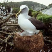 Buller's mollymawk. Adult southern subspecies brooding chick. North East Island, Snares Islands, April 2005. Image © Colin Miskelly by Colin Miskelly
