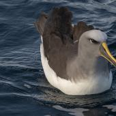 Buller's mollymawk. Northern subspecies, on water. Off Pitt Island, Chatham Islands, November 2020. Image © James Russell by James Russell