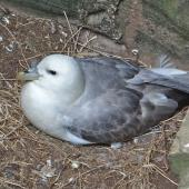 Northern fulmar. Pale morph adult on nest (North Atlantic subspecies). Scotland, May 2015. Image © John Flux by John Flux