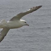 Northern fulmar. Pale morph adult in flight (North Atlantic subspecies). Scotland, May 2015. Image © John Flux by John Flux