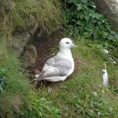 Northern fulmar. Pale morph adult at nest, North Atlantic subspecies. Lunga Island, Treshnish Islands, Scotland, July 2012. Image © Alan Tennyson by Alan Tennyson