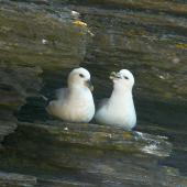 Northern fulmar. Pale morph adults, North Atlantic subspecies. Marwick Head, Orkney Islands, June 2012. Image © Alan Tennyson by Alan Tennyson