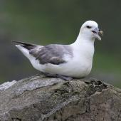 Northern fulmar. Pale morph adult calling (North Atlantic subspecies). St Kilda, June 2018. Image © John Fennell by John Fennell