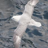 Northern fulmar. Adult (pale morph, North Atlantic subspecies) in flight. Pentland Firth, United Kingdom, July 2008. Image © David Rintoul by David Rintoul